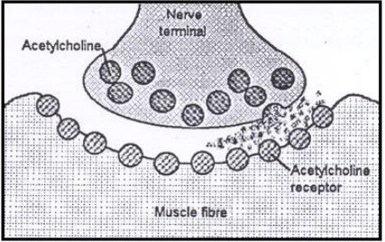 Diagram of a normal neuromuscular junction